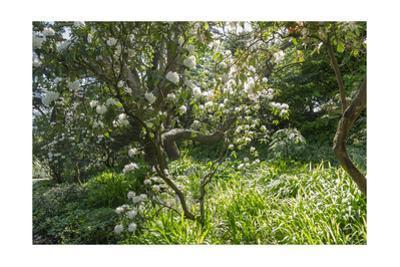 Rhododendron Golden Gate Park by Henri Silberman