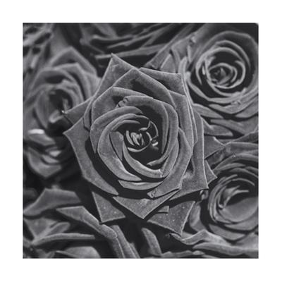 Roses, Close-Up by Henri Silberman