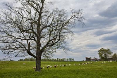 Sheep on a Farm