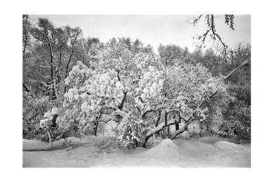 Snow Covered Tree Prospect Park by Henri Silberman