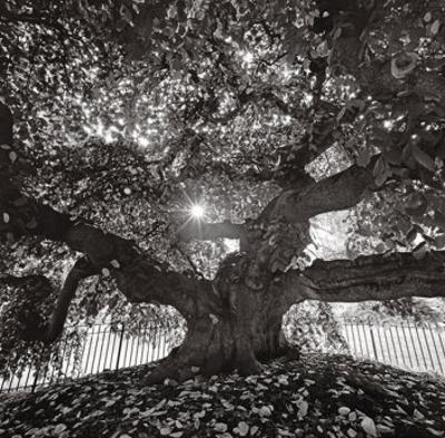 Under Camperdown Elm, Prospect Park by Henri Silberman