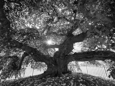 Under the Camperdown Elm Prospect Park by Henri Silberman