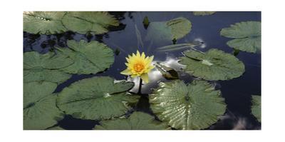 Water Lilies, Brooklyn Botanic Gardens by Henri Silberman