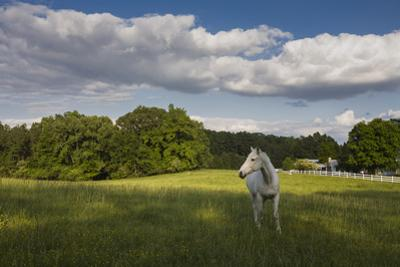 White Horse in Field with White Clouds