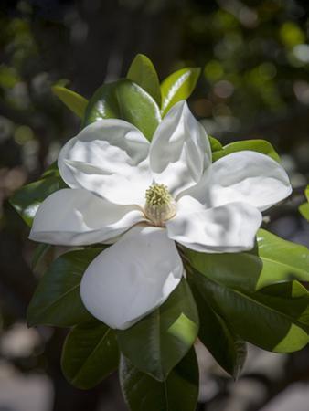 White Magnolia Blossom Close-Up 3 by Henri Silberman