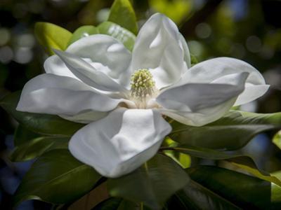 White Magnolia Blossom Close-Up by Henri Silberman