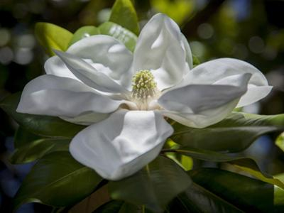 White Magnolia Blossom Close-Up by Henri Silberman