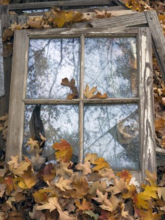 Window Frame and Autumn Leaves (Still Life, North Carolina) by Henri Silberman