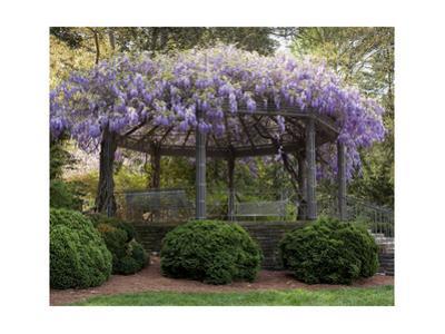 Wisteria Arbor, Duke Gardens, Durham, NC (Purple Spring Flowers) by Henri Silberman