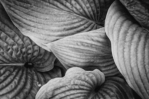 Close-Up of Big Hosta Leaves Covering Each Other by Henriette Lund Mackey