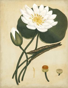 White Water Lily by Henry Andrews