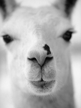 Close-Up of Alpaca's Nose