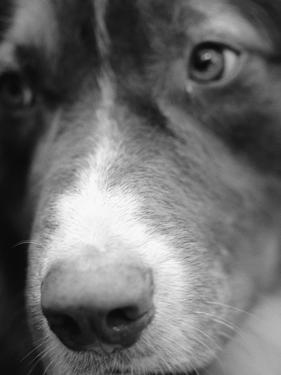 Dog's Nose by Henry Horenstein