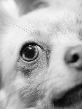 Eye of Chihuahua by Henry Horenstein