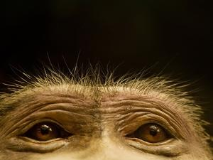 Eyes of Chacma Baboon by Henry Horenstein