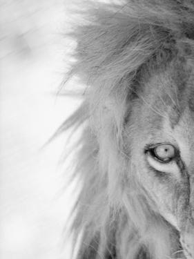 Half of Lion's Face by Henry Horenstein