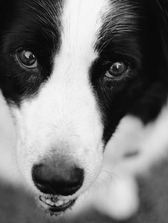 Head of Border Collie