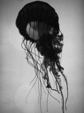 Jellyfish by Henry Horenstein