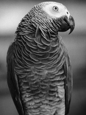 Parrot Turning Head by Henry Horenstein