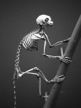Primate Skeleton on Display by Henry Horenstein
