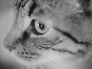 Side of Cat's Face by Henry Horenstein