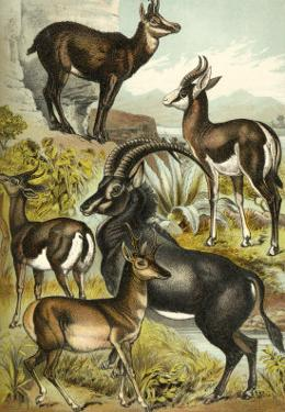 Antelope by Henry J^ Johnson
