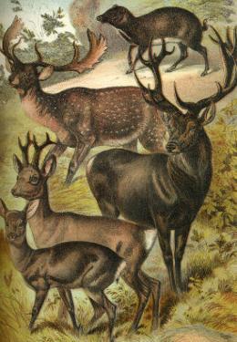 Deer by Henry J^ Johnson