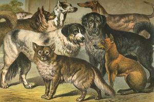 Dog Breeds I by Henry J^ Johnson
