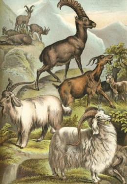Goats by Henry J^ Johnson
