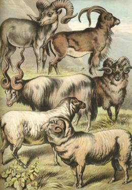 Sheep by Henry J^ Johnson