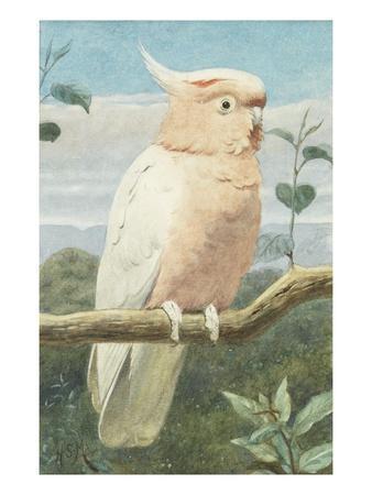 A Leadbetter's Cockatoo (W/C)