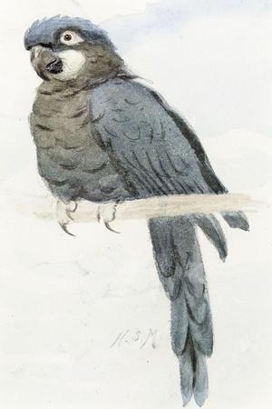 Hyacinth Macaw, C.1890