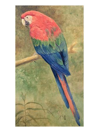 Red and Blue Macaw (W/C Heightened with White on Paper)