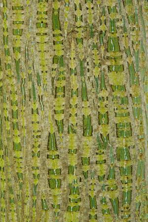 https://imgc.allpostersimages.com/img/posters/her-s-maple-acer-davidii-grosseri-bark-close-up-of-trunk-in-botanical-garden-july_u-L-Q10YKT10.jpg?artPerspective=n