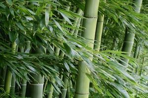 Bamboo Forest by Herb Dickinson