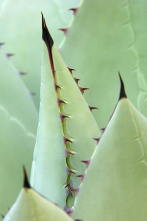 Agave, Agave Parrasana, Detail, Nature, Botany by Herbert Kehrer
