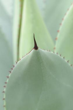 Agave, Agave Parryi, Medium Close-Up by Herbert Kehrer