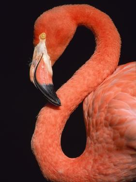 American flamingo by Herbert Kehrer