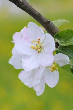 Apple Blossom, Medium Close-Up, Apple-Tree, Tree, Spring by Herbert Kehrer