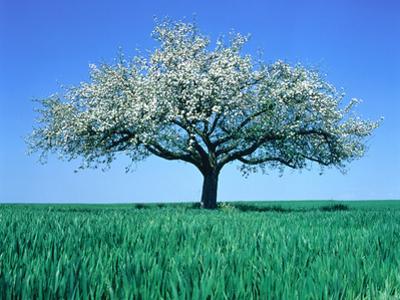 Blossoming Tree in Field by Herbert Kehrer