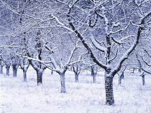 Cherry Trees, Winter, Snow, Detail, Bald, Leafless, Germany, Winter Scenery, Frost, Season by Herbert Kehrer