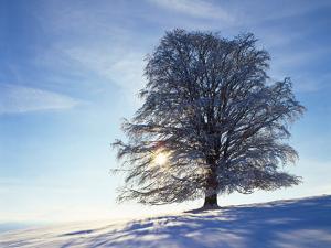 Copper Beech, Fagus Sylvatica, Snow-Covered, Back Light, Leafless by Herbert Kehrer