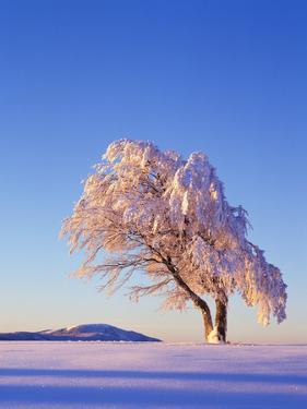 Copper Beech, Fagus Sylvatica, Snow-Covered, Morning Light, Leafless by Herbert Kehrer