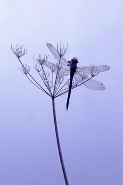 Dragonfly, Plant, [M by Herbert Kehrer