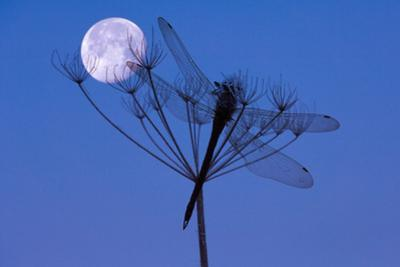 Dragonfly, Plant, Silhouette, Moon