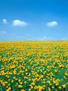 Flower meadow with blooming dandelion by Herbert Kehrer