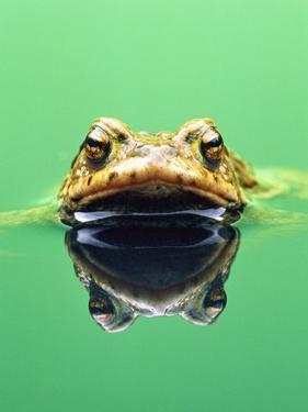 Frog in the water by Herbert Kehrer