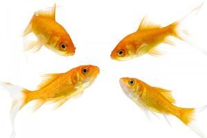 Goldfish Swimming in Water by Herbert Kehrer