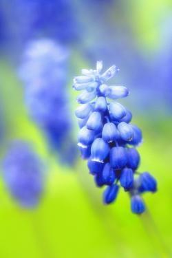 Grape-Hyacinth, Muscari Racemosum, Detail, Blooms, Plant by Herbert Kehrer