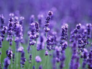 Lavender Field by Herbert Kehrer